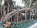HK SW 上環 Sheung Wan卜公花園 Blake Garden 老榕樹 Chinese banyan tree 氣根 root n trunk February 2020 SS2 07.jpg