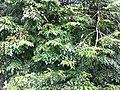 HK Shatin Park green tree leaves July-2013 Ip4.JPG