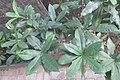 HK Sheung Wan 老沙路街 Rozario Street plant Allamanda schottii cross green leaves October 2017 IX1 09.jpg