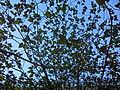 HK tree leaves blue sky Nov-2013.JPG