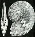Haeckel Ptychites opulentus.jpg