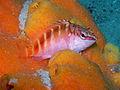 Half-banded Seaperch (Hypoplectrodes maccullochi) (22732213311).jpg