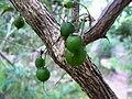 Halleria lucida - fruits 6.JPG
