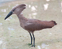 Hammerkop Scopus umbretta National Aviary 2000px.jpg