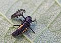 Harmonia axyridis - lifecycle A - 10 - first ecdysis.jpg