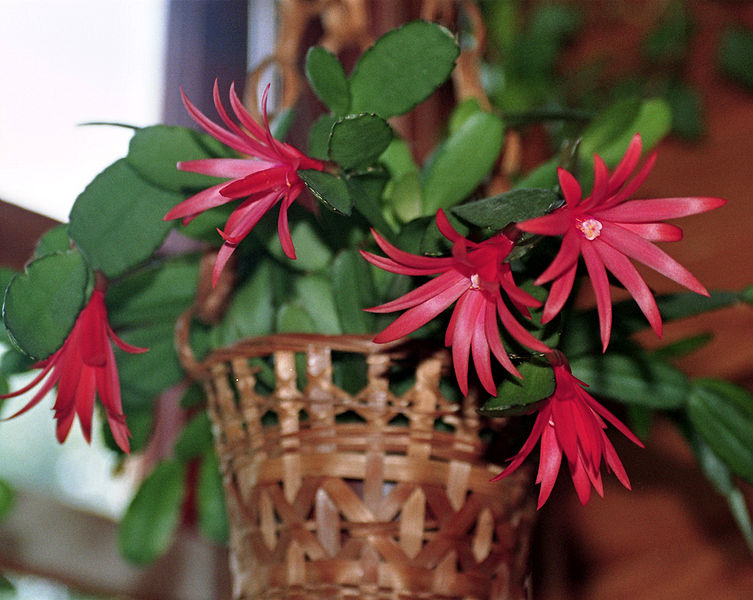 fleurs du cactus de pâque