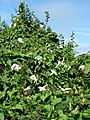Hedge overgrown with Great Bindweed (Calystegia sepium) - geograph.org.uk - 540567.jpg