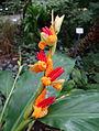 Hedychium horsfieldii - Botanischer Garten, Dresden, Germany - DSC08601.JPG