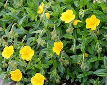 Helianthemum oelandicum ENBLA01.jpeg
