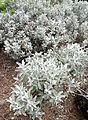Helichrysum obconicum kz3.JPG