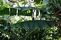 Heliconia rostrata Cervanda 2zz.jpg