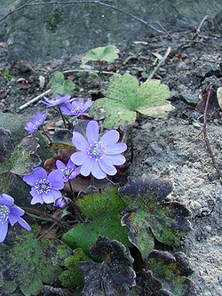 definition of hepatica