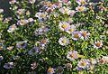 Herbstastern (Aster) (10555826524).jpg