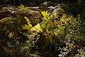 Herbstfarne am Würmseeweg im LSG Forst Rundshorn IMG 3101.jpg