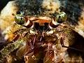 Hermit Crab (13532444393).jpg