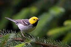 Hermit Warbler (Dendroica occidentalis).jpg