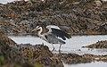 Heron Ireland (221947319).jpg