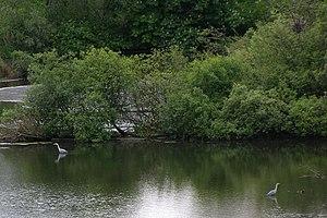 Reiher am Duddingston Loch
