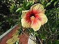 Hibiscus rosa sinensis hybrid-20-hanuman temple-muluvi-yercaud-salem-India.jpg