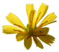 Hieracium lachenalii20090813 153.png