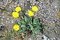Hieracium pilosella.jpg