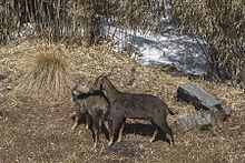 Himalayan Brown Goral Male and Female pangolakha Wildlife Sanctuary East Sikkim India 13.02.2016.jpg