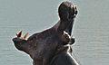 Hippo (Hippopotamus amphibius) (6001799216).jpg