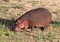 Hippopotamus study (sequence) at Kruger National Park (12156755746).jpg