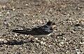 Hirundo rustica - Barn Swallow 05.jpg