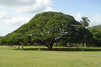 Samanea saman - The Hitachi Tree at the Moanalua Gardens, Hawaii