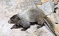 Hoary Marmot, Mt. Rainier 03.jpg