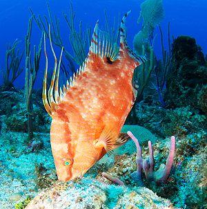 Hogfish - Image: Hogfish