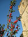Holly berries - Sydling St Nicholas - geograph.org.uk - 1044563.jpg