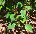 Homalanthus nutans foliage.jpg