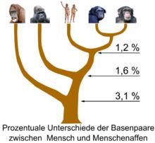 Orang utans gorillas menschen bonobos und gemeine schimpansen