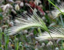 Hordeum jubatum - close-up  aka  jpgFoxtail Barley Seedling