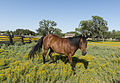 Horse prances through the Spring flowers by Carol M. Highsmith.jpg