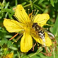 Hover Fly (Syrphidae) on Common St. John's-Wort (Hypericum perforatum) - Oslo, Norway 2020-08-29.jpg