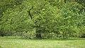 Hutebuche2 im Rhönwald.jpg