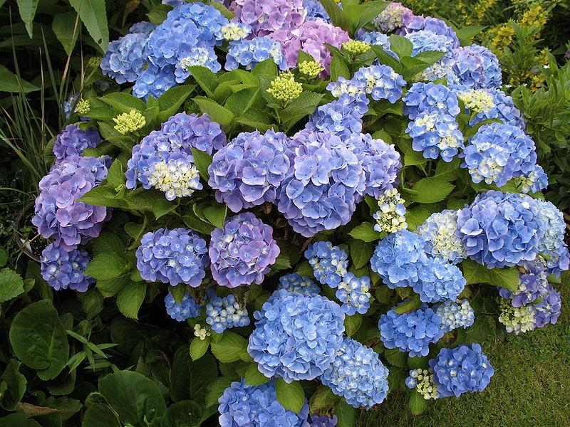 File:Hydrangea macrophylla 02.jpg