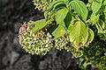 Hydrangea paniculata cultivated in Cantal 02.jpg