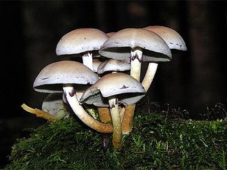 Cryptogam - Hypholoma fasciculare, a fungus