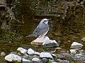 Hypsipetes amaurotis on the rock of river.jpg