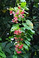 IMG 8329 Combretum indicum Photographed by Peak Hora (4).jpg