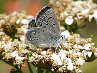 Mission blue butterfly - Image: Icaricia icarioides missionensis 1