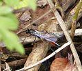 Ichneumonidae - Flickr - gailhampshire (5).jpg