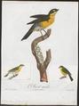 Icteria virens - 1805 - Print - Iconographia Zoologica - Special Collections University of Amsterdam - UBA01 IZ16600289.tif