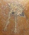 Idiornis tuberculata.jpg