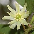 Illicium anisatum (flower).jpg