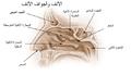 Illu nose nasal cavities ar.png